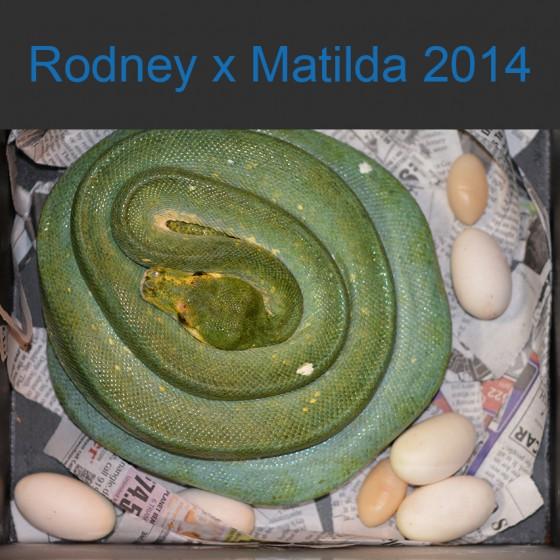 Rodney x Matilda