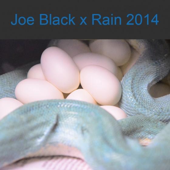 Joe Black x Rain